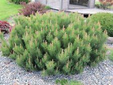 Dwarf Mugo Pine (Pinus mugo Pumilio) 100 seeds