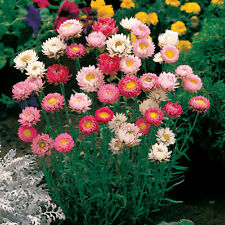 PAPER DAISY 150 seeds NATIVE Strawflower Everlasting Daisy HELICHRYSUM flower