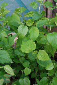 Morus nigra Black Mulberry Tree 2 to 3 year old coppiced tree in a 1ltr pot x 3