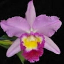 "Bin) Ellen Kobayashi 'Volcano Princess' Cattleya Orc 00006000 hid Plant 4"" Pot"