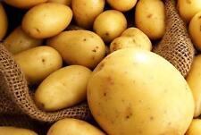 Potato seeds Revenge Vegetable seeds from Ukraine / average