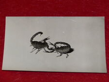 """[PHOTOGRAPHIE] PIERRE AURADON / ARGENTIQUE 1940/50 """"Combat de Scorpions"""" 13x8"""