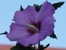 PURPLE ROSE OF SHARON HIBISCUS Syriacus Flower Tree Bush Seeds   (5 nos) F-049