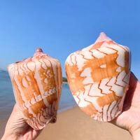 Large Scenic Shells Conch Natural Coral Sea Snail Fish Tank Decor Ornaments Chic