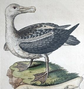 "George Edwards ""Albatross"" ~ 18th Century hand-colored engraving"