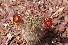 Echinocereus russanthus HARDY HEDGEHOG CACTUS SEEDS!