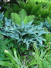 3 Hosta Krossa Regal large upright growth habit good blue leaved garden plant