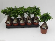 Ficus Ginseng Bonsai House Plant in a 12cm Pot x 1