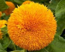 25 Teddy Bear Sunflower Seeds Flowers Seed Flower Perennial Bloom 1086