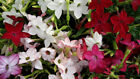 100 Nicotiana Alata Mix Flower Seeds-Winged Tobacco Dwarf/ NICOTIANA ALATA