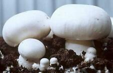 White Button Mushroom (Agaricus bisporus) Mycelium Spores Spawn Dried Seeds