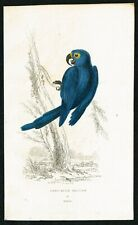 1833 Hyacinth Blue Macaw Parrot, Hand-Colored Antique Engraving Print - Kidd