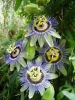 Passiflora caerulea Blue Crown 10 seeds