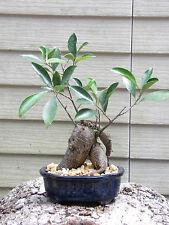 Gensing Ficus Microcarpa Bonsai Tree Flowers # 9