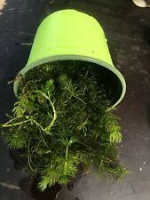 Ceratophyllum  0,6l plante  vrac portion  bassin oxygenante
