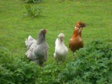 Aus Tierheilpraxis; Kräutermischung zur Entwurmung ( Wurmkur) für Hühner usw