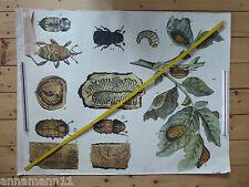 Engleders Wandtafeln, Offsetdruck von J. F. Schreiber, Tierkunde, Käfer, Tafel42