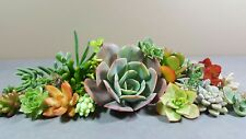 All Different Succulent Cuttings x 30 Succulents Echeveria/Sedum/Crassula