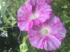 Snowstorm Of Blooms Japanese Morning Glory Seeds (Variegated Foliage)