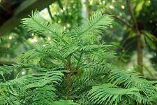 Echte Wollemi Pine Wollemie Pflanze 25-30cm Wollemia nobilis lebendes Fossil