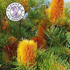 """Raro Insolito Fioritura Arbusto 3L Banksia prionotes avrebbe WARF/"""""""