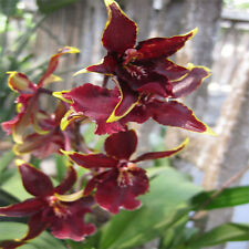 Orchid Acanthephippium Flower 36 Seeds Species (Type T3) Real Seeds
