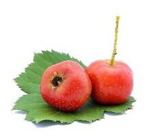 20 Hawthorn Seeds May Tree Haw Crataegus pinnatifida Organic Fruit Heirloom S028