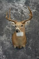 SKU: 1030 Whitetail Deer Taxidermy for Sale, SCI Score 130 6/8 8vpointer