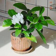 Gardenia - Cape Jasmine    HOUSEPLANT/SHRUB   * 10 SEEDS!