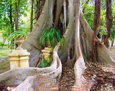Sacred Fig - FICUS RELIGIOSA - 25 Seeds Tree