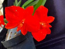 Cattleya (Sophronitis) coccinea(japaneseorchid)i n flower/healthy/beautiful