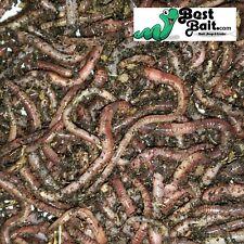 European Nightcrawlers, Euros, Composting Worms Live Arrival Guarantee