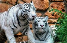 Incorniciato stampa - 2 BENGALA Tigri Bianco (PICTURE POSTER Animali Selvatici Leone Orso Art)