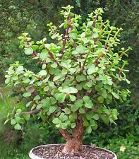 """2 cuttings 3"""" Portulacaceae Elephant Bush Jade Cute Rare Cactus succulent Plant"""