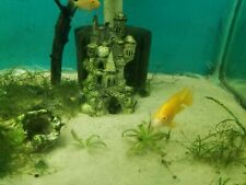 Albino Eureka Red Peacock Male Cichlids 2.5  Inches FREE SHIPPING