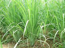 Lemongrass, Cymbopogon Citratusc,Live Plant, Culinary, Tea