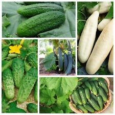 Seeds Cucumber Rare Early Giant Kit (5 packs) Vegetable Organic Non GMO