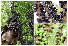 JABOTICABA Myciana cauliflora Native sweet taste fruit plant in 140mm pot