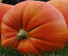 CALABAZA GIGANTE  atlantic giant  25 semillas seeds graines