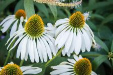 Echinacea 'White Swan' X 6 Jumbo Plug Plants Hardy Perennial