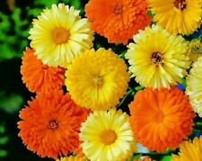Calendula seeds Pacific Beauty Mixed, approx. 1500 seeds, BUY 2 GET 1 FREE