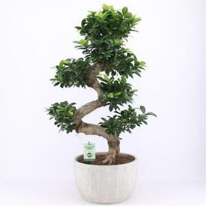 Bonsai Ficus microcarpa Ginseng  Chinesische Feige verschiedene Größen