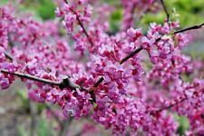 New listing 20 Joys Pride Redbud Seeds - Cercis canadensis 'Morton'