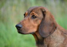 A4| Alpine Dachsbracke Puppy Poster Size A4 Dog Austrian Poster Gift #15807