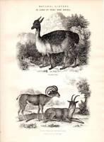 1877 Stampa Naturale Storia Lama Di Perù Argali Capra