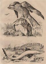ANIMALS. Milan (Kite). Milandre (Tope/School Shark) 1834 old antique print