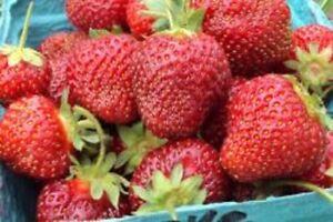Honeoye Junebearing Strawberry Plant (Lot Of 10 Plants)