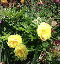 Peony BARTZELLA double Yellow ITOH Intersectional tuber root Perennial Plant