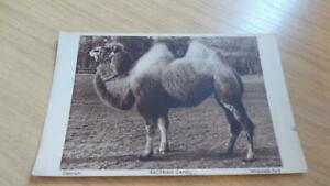 AK119c: Postcard - Whipsnade Park - Bactrain Camel - Zoological Society