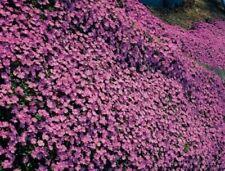 "Organic Flower Seeds Aubrieta ""Lilac"" Lilovay(Aubrieta hibrida) Natural 100 Seed"